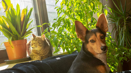 Cat is sunning on the windowsill and dog is sitting in front of it. tabby domestic cat and mongrel dog from german shepherd and greek hunting dog Standard-Bild - 117803990
