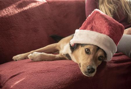 Pretty mixed breed dog with Santa hat. Mixed breed: Greek hound and German shepherd Standard-Bild - 117804023