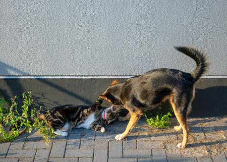 Mix pastore tedesco e gatto domestico in un gioco amichevole Archivio Fotografico