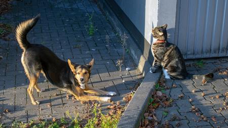 German shepherd mix and domestic cat in friendly community Standard-Bild - 117804028