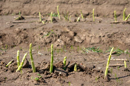 Asparagus spears on the field. Location: Germany, North Rhine-Westphalia, Heiden