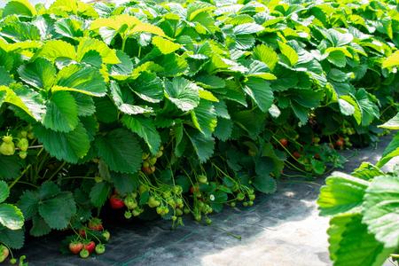 Strawberry plants from protected cultivation. Location: Germany, North Rhine-Westphalia, Heiden Standard-Bild - 127456105