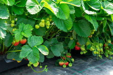 juicy strawberries on the shrub from protected cultivation. Location: Germany, North Rhine-Westphalia, Heiden Standard-Bild - 127456106