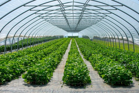 Strawberries from protected cultivation. Location: Germany, North Rhine-Westphalia, Heiden