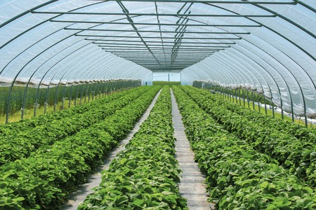 magnificent strawberry plants in the strawberry tunnel from protected cultivation. Location: Germany, North Rhine-Westphalia, Heiden Standard-Bild - 127456109