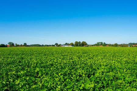 Ripened field with bush beans. Location: Germany, North Rhine-Westphalia, Borken