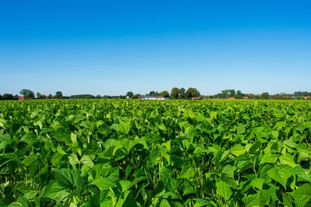 Field with bush beans. Location: Germany, North Rhine-Westphalia, Borken Standard-Bild - 130755016