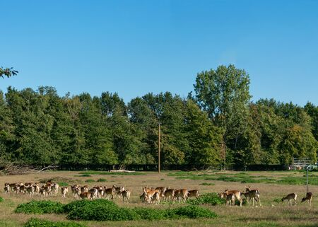 Herd with deer. Location: Germany, North Rhine-Westphalia, Borken Stockfoto