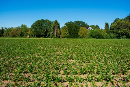 Field with celery. Location: Germany, North Rhine-Westphalia, Borken