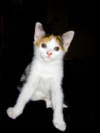 spread legs: small calico sitting with his legs spread out Stock Photo