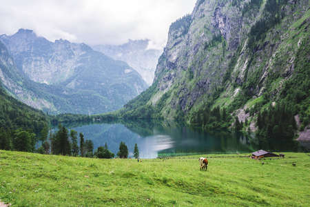 Lake Obersee, Sch nau am Konigssee, Bavaria, Germany. Great alpine scenery with cows in National Park Berchtesgaden