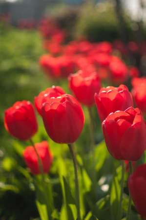 A group of red tulips near the house. Spring landscape Stok Fotoğraf - 119945539