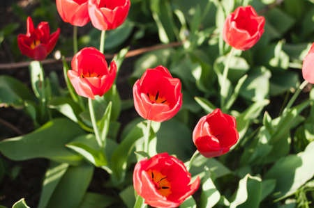 A group of red tulips near the house. Spring landscape Stok Fotoğraf