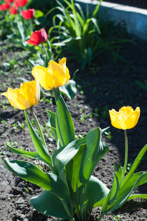 Spring background with beautiful yellow tulips. Stok Fotoğraf