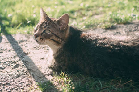 Homemade gray tabby cat at sunset. The cat looks up and straight. Yellow-green blurred background with circles. Cat face close up. Pet in nature. Bokeh. Village, park. Summer. Stok Fotoğraf