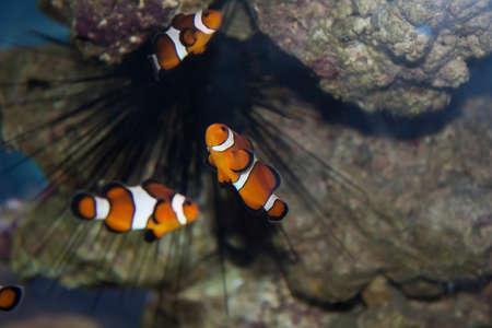 ocellaris clownfish: Ocellaris Clownfish