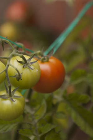 ripening: TOMATOES ON THE VINE