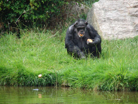 Chimpanzee at Chester Zoo eating Stock Photo