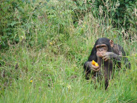 Chimpanzee at Chester Zoo eating