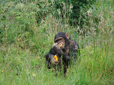 chester:  Chimpanzee at Chester Zoo eating Stock Photo