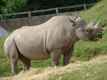 Black Rhino at Chester ZOO photo