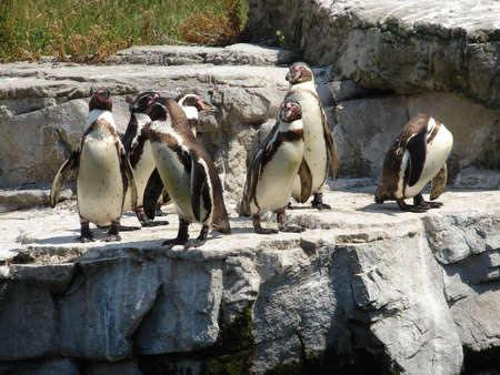 Humboldt Penguins at Chester Zoo Stock Photo