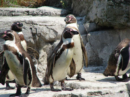 chester: Humboldt Penguins at Chester Zoo Stock Photo