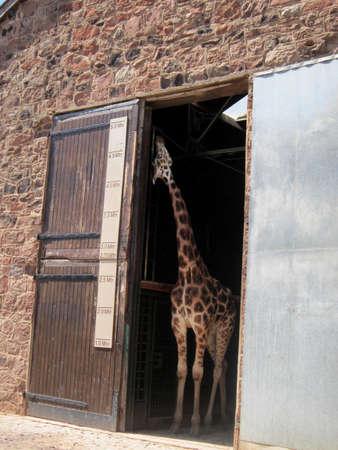 chester: Photo of Giraffe at Chester Zoo Stock Photo