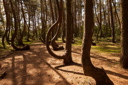 oddity: Photo of Crooked Forest in Nowe Czarnowo in Poland
