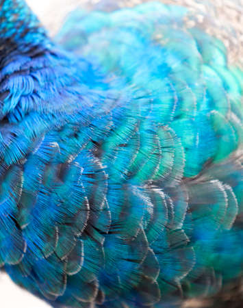 Close-up photo of a peacock feathers