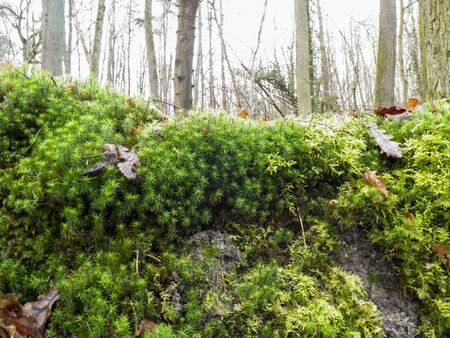 brake fern: moss front of forest