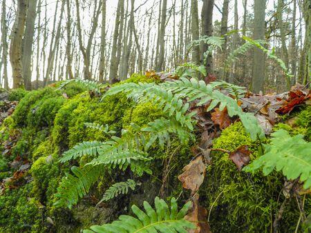 brake fern: Fern in forefront