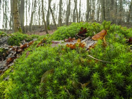 brake fern: moss in foreground