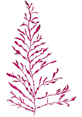 digitata: Depper Dulse Seaweed