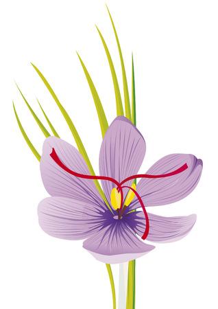 fiore di zafferano viola