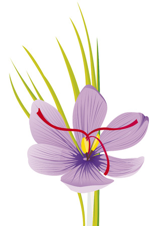 purple saffron flower
