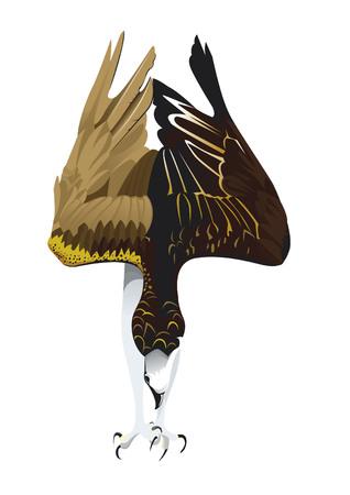 Osprey diving in lak Illustration
