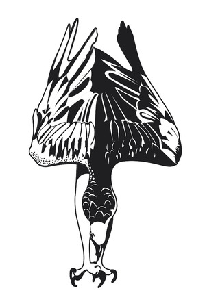 osprey: Osprey diving in black and white