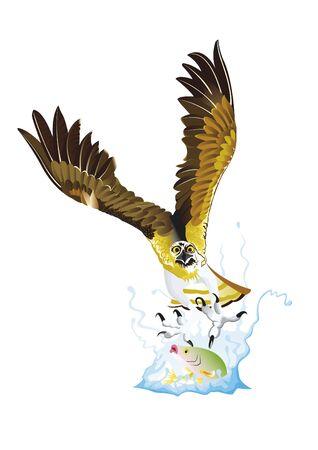 osprey: Osprey diving to catch fish