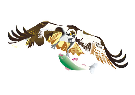 osprey: Osprey flying with green fish