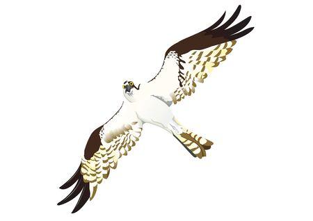 Osprey look in the sky