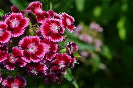 Cloves Turkish. Dianthus barbatus. Garden plants. Flower. Perennial. Horizontal photo