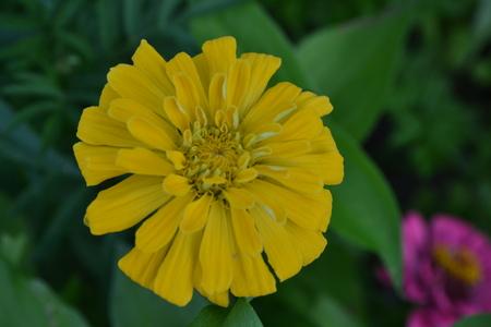 Flower major. Zinnia elegans. Flower yellow. Close-up. Garden. Field. Floriculture. Large flowerbed. Horizontal photo