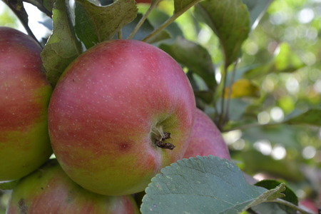 Apple. Grade Jonathan. Apples average maturity.  Growing fruits. Garden. Farm. Fruits apple on the branch. Agriculture. Close-up. Horizontal