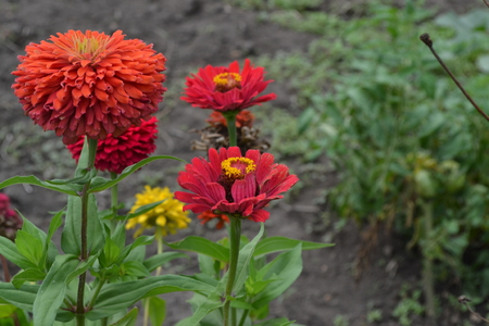 Flower major. Zinnia elegans. Many flowers of different colors - orange, red. Garden. Field. Floriculture.Horizontal