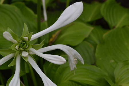 Hosta. Hosta plantaginea. Hemerocallis japonica. Floral bushes. Large leaves are green in color. White flower similar to a lily. Garden. Flowerbed. Flowers. Horizontal photo Stock Photo