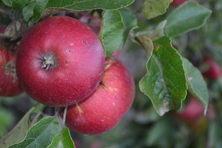 Apple. Grade Jonathan. Apples average maturity. Fruits apple on the branch. Apple tree. Agriculture. Garden. Farm. Close-up. Horizontal photo Stock Photo