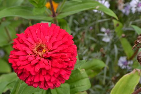 Flower major. Zinnia elegans. Flower bright pink. Close-up. Garden. Field. Floriculture. Horizontal photo Фото со стока