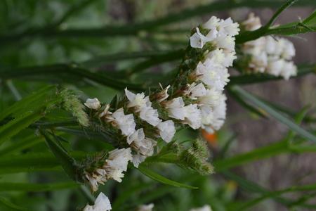 Dried flowers limonium sinuatum statice sinuata flower white dried flowers limonium sinuatum statice sinuata flower white close up mightylinksfo