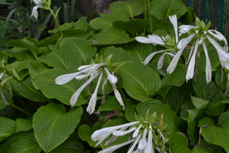 Hosta. Hosta plantaginea. Hemerocallis japonica. Floral bushes. Large leaves are green in color. White flower similar to a lily. Garden. Flowerbed. Flowers